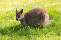 Swamp- or Black Wallaby Stock Photo