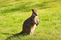 Swamp- or Black Wallaby on Royalty Free Stock Photo