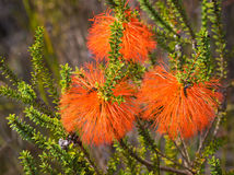 Swamp Bottlebrush Flowers Stock Photo