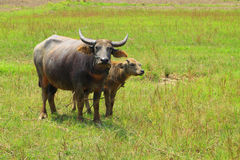 Swamp buffalo Royalty Free Stock Photography