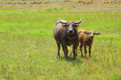 Swamp buffalo, Asian, Thailand Stock Image