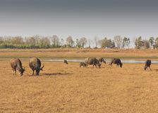Swamp buffalo, Asian, Thailand. Swamp buffalo in Thailand ,Asian royalty free stock images