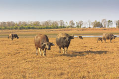 Swamp buffalo, Asian, Thailand. Six swamp buffalo, Asian, Thailand stock photo