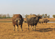 Swamp buffalo, Asian, Thailand. Five swamp buffalo, Asian, Thailand royalty free stock photography