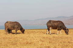 Swamp buffalo, Asian, Thailand. Two swamp buffalo, Asian, Thailand stock photo