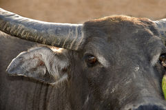Swamp buffalo Royalty Free Stock Image