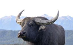Swamp buffalo. Portrait of swamp buffalo, Bubalus bubalis, the most important domesticated animal to man, found on the Indian subcontinent to Vietnam and Royalty Free Stock Images