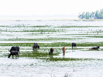 Swamp Buffaloes and Birds Royalty Free Stock Image