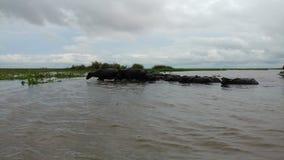 Swamp Bull. At amuntai, panggang lake Royalty Free Stock Photography