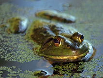 Swamp Bullfrog Royalty Free Stock Images