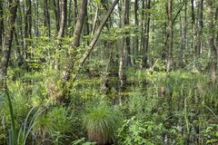 Swamp or carr in summer Royalty Free Stock Photos