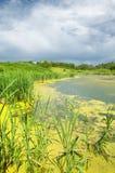 swamp Cena verde luxúria do pântano fotografia de stock