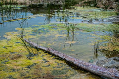 Swamp colors. Blue water and yellow green algae in swamp royalty free stock photography