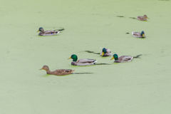 In a swamp covered with a carpet of green algae floating flock of ducks Royalty Free Stock Image