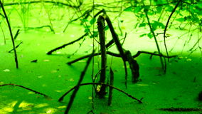 Swamp covered with vegetation, pan. Sound stock video footage