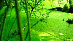 Swamp covered with vegetation, pan. Sound stock video