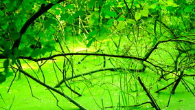 Swamp covered with vegetation, pan. Swamp covered with vegetation  ,  Version 9 stock video footage