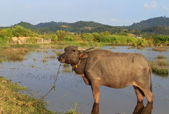 Swamp cow. Cow in malaysia Stock Photography