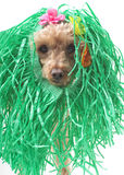 Swamp Creature. A poodle wearing a grass skirt over her head, in turn looking like a swamp creature, isolated on a white background Stock Photos