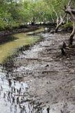 Swamp. Creek meandering through the mangrove swamp at Myora Springs, Stradbroke Island, Australia; mudflats at low tide royalty free stock images