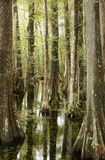 Swamp Cypress. Es in the swamps of South Florida, USA royalty free stock image