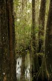 Swamp Cypress Stock Photos