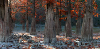 Swamp cypress Stock Images