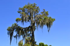 Swamp cypress with spanish moss Royalty Free Stock Images