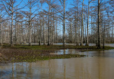 The Swamp. Cypress trees in the swamp Royalty Free Stock Image