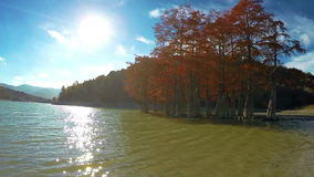 Swamp cypresses on lake. Autumn swamp cypresses trees on lake stock video footage