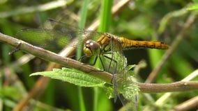 Swamp Darter - Sympetrum depressiusculum stock video footage