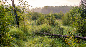Swamp at dawn. Swamp greenery, early misty sunrise Stock Photography