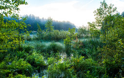 Swamp at dawn. Swamp greenery, early misty sunrise Stock Images
