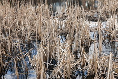 Swamp. With dead plants at autumn royalty free stock image