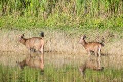Swamp deer. Deer animal buck forest nature male wildlife mammal woods velvet hunting red wild season antlers background natural green young outdoors big fur Stock Photos