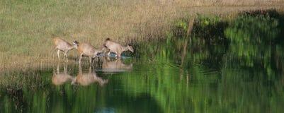 Swamp deer. Animal wild family deer wildlife park nature swamp natural water landscape green lake hole feeding marsh maine watering whitetail waters beautiful Stock Photography