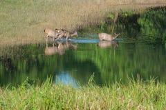 Swamp deer Royalty Free Stock Photos