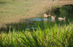 Swamp deer. Animal wild family deer wildlife park nature swamp natural water landscape green lake hole feeding marsh maine watering whitetail waters beautiful Stock Image