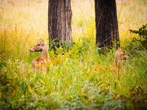 Swamp deer Royalty Free Stock Photography