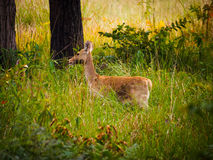 Swamp deer Royalty Free Stock Image