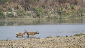 Swamp deer crossing river in Bardia, Nepal Stock Photo