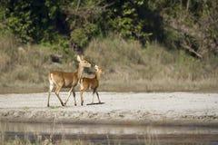 Swamp Deer group  in Nepal Royalty Free Stock Photos