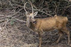 Swamp Deer Live In Open Zoo. Royalty Free Stock Photo
