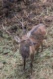 Swamp Deer Live In Open Zoo. Royalty Free Stock Photos