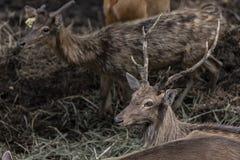 Swamp Deer Live In Open Zoo. Stock Image