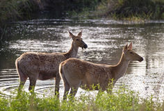 Swamp deers. These two female swamp deers are shot  feeding in the Sondhar waterbody in Kanha national park of Madhya pradesh state of India Royalty Free Stock Image