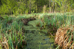 Swamp. Early morning on a bog. Green leaves and slack water Stock Photos