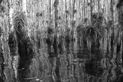 Swamp in the Everglades black and white Royalty Free Stock Photo