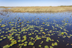 Swamp in the Everglades National Park, Florida Royalty Free Stock Images