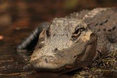 swamp för alligatorcloseupokefenokee Fotografering för Bildbyråer